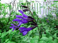 "Black & Blue Hummingbird Sage Herb - Grow Indoors/Out - Live Plant - 4"" Pot"