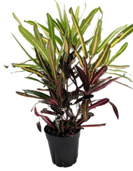 "Golden Bell Croton - 6"" Pot - Croton - Easy to Grow House Plant"