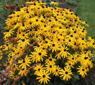 Glitters Like Gold Black-Eyed Susan - Rudbeckia - Live Plant - Gallon Pot