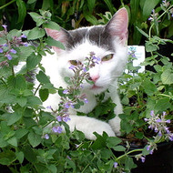 "Blue Wonder Catmint Perennial Plant - Nepeta racemosa - Good for Cats - 3"" Pot"