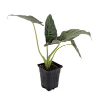 "Regal Shield Plant - Alocasia - Houseplant - 4"" Pot"