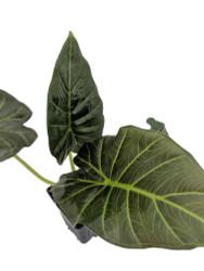 """Regal Shield Plant - Alocasia - Houseplant - 4"""" Pot"""