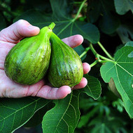 "Brown Turkey Edible Fig Plant - Ficus carica - Sweet - 4"" Pot"