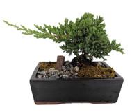 """Serenity Garden Japanese Juniper Bonsai Tree - 8"""" Ceramic Pot -Pebbles/Rock/Moss"""