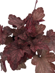 Carnival Candy Apple Heuchera - Coral Bells - Gallon Pot - Shade Lover