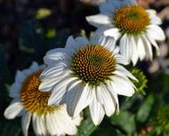 Pow Wow White Coneflower - Echinacea - Live Plant - Quart Pot