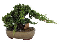 "Serenity Garden Japanese Juniper Bonsai Tree- 12"" Ceramic Pot -Pebbles/Rock/Moss"