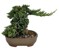"Serenity Garden Japanese Juniper Bonsai Tree- 10"" Ceramic Pot -Pebbles/Rock/Moss"