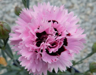 "Early Bird Fizzy Dianthus - Cottage Pinks - Fragrant/Hardy Groundcover - 4"" Pot"