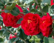 Kramer's Supreme Camellia -Rose of Winter-Outdoors/Bonsai/House Plant -Quart Pot