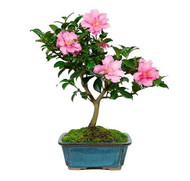 Don Mac Camellia - Rose of Winter - Outdoors/Bonsai/House Plant - Quart Pot