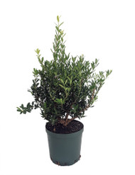 "Japanese Tai Boxwood Bonsai Tree - Buxus - Excellent Indoor Bonai - 4"" Pot"