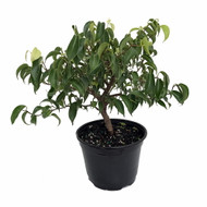 "Wiandi Corkscrew Weeping Fig Tree - Ficus - Houseplant or Bonsai - 6"" Pot"