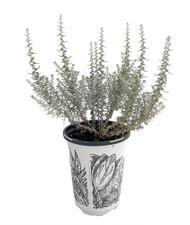 "Dwarf Curry Herb Live Plant - Helichrysum angustifolium - 4.33"" Pot"