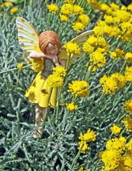 """Gray Santolina - Cotton Lavender - Fairy Garden/Rock Garden - 4"""" Pot"""
