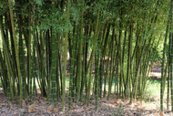 """Giant Grey Bamboo - Phyllostachys parvifolia - 4"""" Pot - New/Hardy - Indoors/Out"""