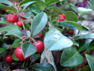 "Wintergreen Plant  - Gaultheria -Teaberry - Aromatic Leaves - 2.5"" Pot"