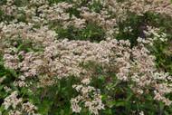 Milk & Cookies Joe Pye Weed Perennial - Eupatorium - Gallon Pot
