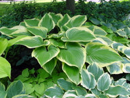 Victory Hosta - Hosta of the Year for 2015 - Quart Pot