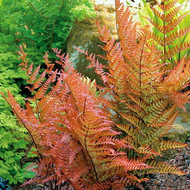 "Japanese Autumn Fern - Dryopteris - Indoors or Out - 4"" Pot"