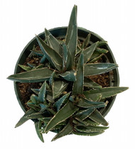 "Miniature Century Plant - Agave - 6"" Pot - Easy to Grow Succulent"