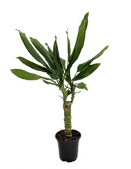 "Emerald Dragon Tree - Dracaena - 4"" Pot - Easy to Grow House Plant"