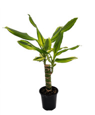 "Sol Dragon Tree - Dracaena - 4"" Pot - Easy to Grow House Plant"