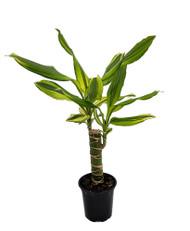 "Sol Dragon Tree - Dracaena - 4"" Pot - Easy to Grow House Plant"