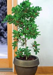 "Miracle Fruit Plant - Synsepalum dulcificum - 6"" Pot - Fruit Bearing Size"
