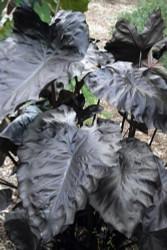"Royal Hawaiian® Black Coral Elephant Ear Plant - Colocasia - 4"" Pot"