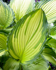 "Dancing Darling Hosta - Golden Yellow Leaves - 4"" Pot"