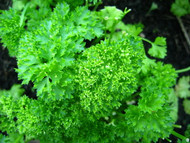 """Curly Leaf Parsley Herb - 4"""" Pot - Indoors or Out"""