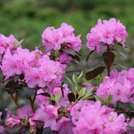 """Compacta Korean Azalea - Rhododendron yedoense var poukhanense - 4"""" Pot"""