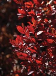 Box Huckleberry - Buxella brachycera - Blueberry Like - 2 Plants -Gallon Pots