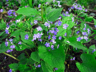 Heartleaf Brunnera macrophylla Plant - SHADE - Gallon Pot