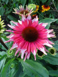 Playful Meadow Mama Coneflower - Echinacea - Fragrant - Gallon Pot
