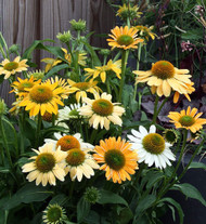 Mellow Yellows Coneflower Perennial - Echinacea - Quart Pot