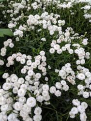 Peter Cottontail Yarrow - Achillea ptarmica - Sun Lover - Gallon Pot