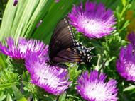 Honeysong Purple Stokes Aster Perennial - Stokesia - Gallon Pot
