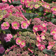 "Tuff Stuff™ Reblooming Mountain Hydrangea - Proven Winners - 4"" pot"