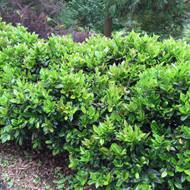 "Carissa Holly - Ilex cornuta - Compact Growth - 4"" Pot"