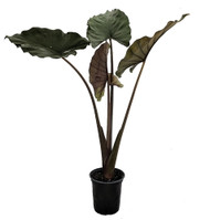 "Sumo Elephant Ear Plant - Alocasia - Houseplant/Outdoors - 6"" Pot"