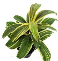"Mocha Latte Hawaiian Ti Plant - Cordyline - 6"" Pot - Easy to Grow House Plant"
