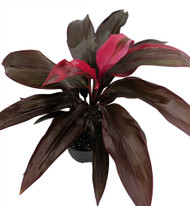 "Ruby Hawaiian Ti Plant - Cordyline - 6"" Pot - Easy to Grow House Plant"