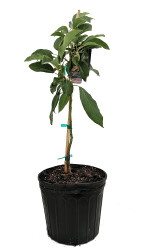 "Lula Avocado Tree -  Grow Indoors or Out - 10"" Pot"