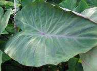 "Sangria Tropi-cools™ Elephant Ear Plant - Colocasia - 4"" Pot"
