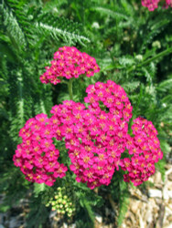 New Vintage Rose Yarrow - Achillea - Sun Lover - Gallon Pot