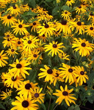 Black-Eyed Susan Goldsturm Rudbeckia - Live Plant - Gallon Pot
