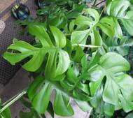 "Ultra Rare Ginny Philodendron - Rhaphidophora tetrasperma -6"" Pot- Mini Monstera"