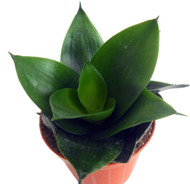 "Black Jade Birdsnest Snake Plant - Sanseveria - Easy to Grow House Plant -4"" Pot"
